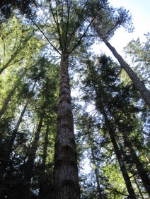 027 tall trees 027